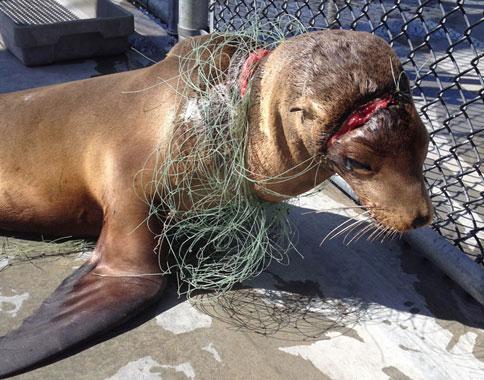 Entangled sea lion pup