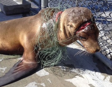 entangled-sea-lion-pup-was-entangled-in-fishing-line-when-he-was-rescued-courtesy-marine-mammal-centre