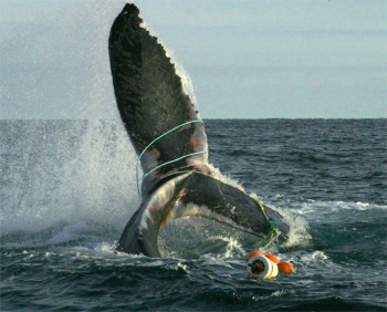 entanglement-humpback_whale_entangled_provincetown_center_coastal_studies-off-the-canadian-coast-in-the-north-atlantic-pccsnoaa-permit-932-1905-2