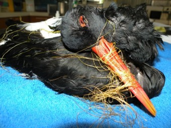 entanglement-this-critically-endangered-pied-oyster-catcher-was-found-by-asr-volunteers-in-2010-entangled-in-fishing-line-on-ballina-beach-photo-australian-seabird-rescue