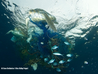 ghost-net-turtles-entangled