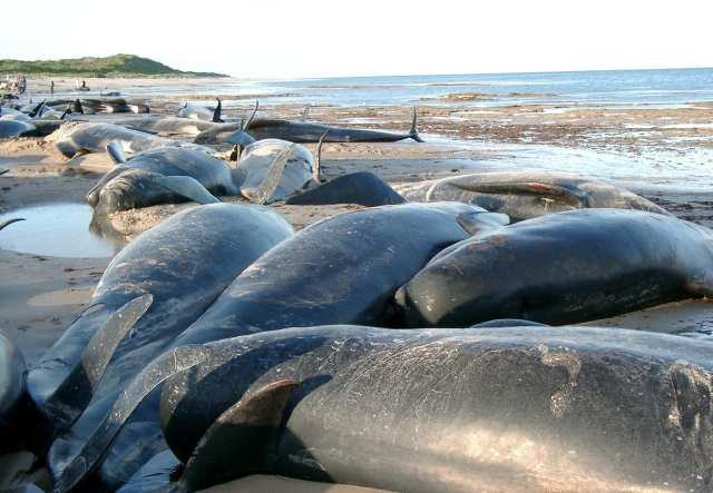 Whales and dolphins die from man-made noise.