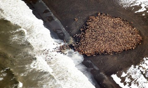 climate-change-an-estimated-35000-walruses-are-pictured-are-pictured-hauled-out-on-a-beach-near-the-village-of-point-lay-alaska-700-miles-north-west-of-anchorage-in-this-september-2014-photogra