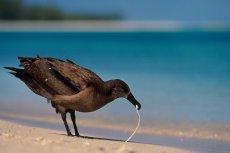 ingestion-black-footed-albatross-ingesting-plastic-3-photo-frans-lanting