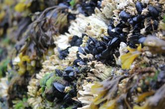 mussel-rock