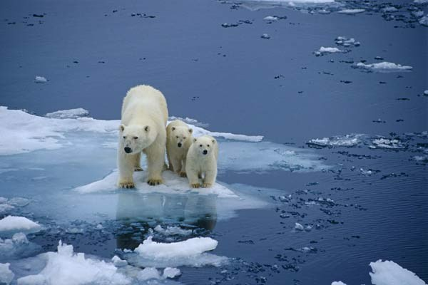 Polar bears in peril due to melting sea ice.