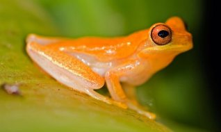 climate-change-the-golden-toad-was-once-native-to-the-cloud-forests-of-costa-rica-but-climate-change-aggravated-the-threats-from-deadly-chytrid-fungus-and-pollution-eventually-driving-the-species